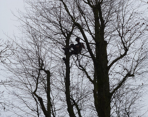 beech tree removal dunvant swansea